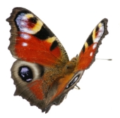 Butterfly. Image from Shutterstock