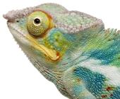 Chameleon. Image from Shutterstock