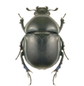 Beetle. Image from Shutterstock