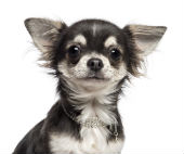 Chihuahua. Image courtesy of Shutterstock