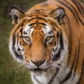 Tiger. Image courtesy of Shutterstock.