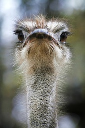 Ostrich image courtesy of Shutterstock