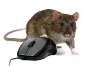 Image of rat courtesy of Shutterstock