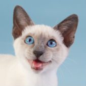 Image of random siamese cat courtesy of Shutterstock