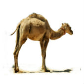 Image of camel courtesy of Shutterstock